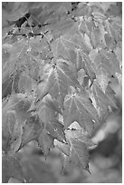 Close-up of leaves in fall color, Tennessee. Great Smoky Mountains National Park, USA. (black and white)