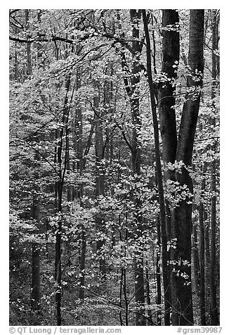 Deciduous forest in autumn, Tennessee. Great Smoky Mountains National Park (black and white)