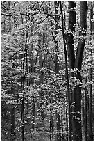 Deciduous forest in autumn, Tennessee. Great Smoky Mountains National Park ( black and white)