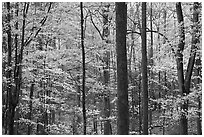 Forest scene in autumn, Tennessee. Great Smoky Mountains National Park ( black and white)