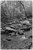 Stream in autumn, Roaring Fork, Tennessee. Great Smoky Mountains National Park ( black and white)