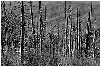 Hillsides in fall color seen through trees with berries, Clingmans Dome, North Carolina. Great Smoky Mountains National Park, USA. (black and white)