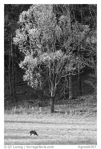 Deer in meadow and forest, Cades Cove, Tennessee. Great Smoky Mountains National Park (black and white)