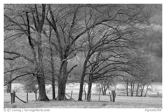 Trees in fenced meadow, early spring, Cades Cove, Tennessee. Great Smoky Mountains National Park (black and white)