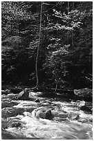 Sunlit Little River and dogwood tree in bloom, early morning, Tennessee. Great Smoky Mountains National Park ( black and white)