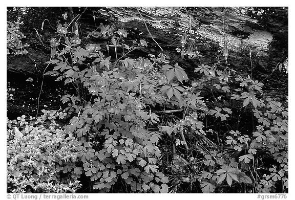 Undergrowth with Forget-me-nots and red Columbine, Tennessee. Great Smoky Mountains National Park (black and white)