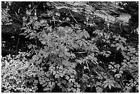 Undergrowth with Forget-me-nots and red Columbine, Tennessee. Great Smoky Mountains National Park ( black and white)