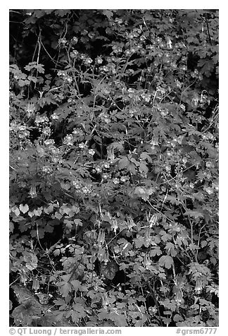 Blue forget-me-nots and Red Columbine, Tennessee. Great Smoky Mountains National Park (black and white)