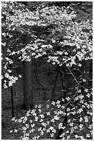 Dogwood tree with white blooms, Tennessee. Great Smoky Mountains National Park ( black and white)