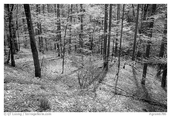 Sunny forest with blue flowers on floor, Big Cove, North Carolina. Great Smoky Mountains National Park (black and white)