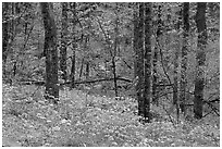 Carpet of white and blue wildflowers in spring forest, North Carolina. Great Smoky Mountains National Park, USA. (black and white)