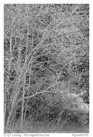 Trees begining to leaf out in spring, North Carolina. Great Smoky Mountains National Park (black and white)