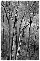 Spring hillside seen through tree trunks, late afternoon, Tennessee. Great Smoky Mountains National Park ( black and white)