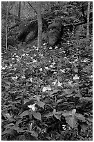 Multicolored Trillium in spring forest, Chimney area, Tennessee. Great Smoky Mountains National Park, USA. (black and white)