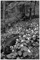 Carpet of White Trilium in verdant forest, Chimney area, Tennessee. Great Smoky Mountains National Park ( black and white)