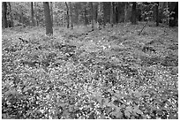 Forest floor covered with Fringed Phacelia (Phacelia fimbriata), Chimney area, Tennessee. Great Smoky Mountains National Park, USA. (black and white)