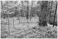 Forest floor covered with small white Fringed Phacelia flowers, Chimney area, Tennessee. Great Smoky Mountains National Park ( black and white)