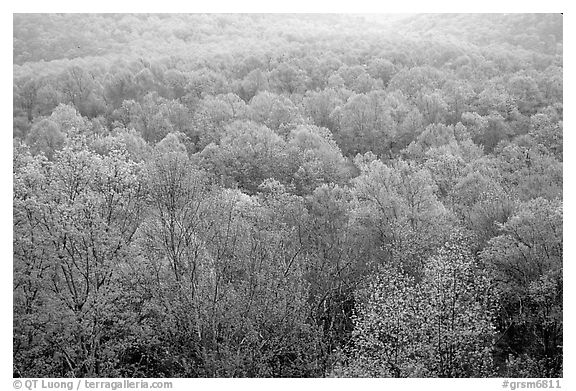 Forest canopy in spring, Tennessee. Great Smoky Mountains National Park (black and white)