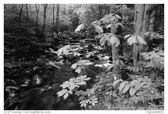 Wildflowers next to the Middle Prong of the Little Pigeon River, Tennessee. Great Smoky Mountains National Park (black and white)