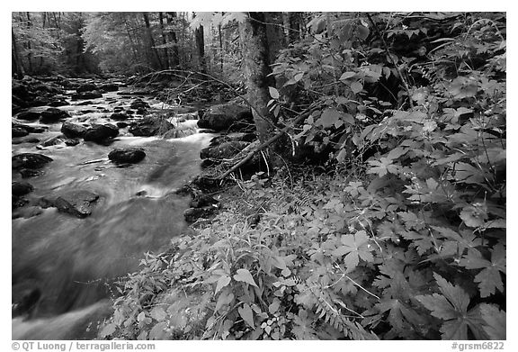 Spring Wildflowers next river flowing in forest, Greenbrier, Tennessee. Great Smoky Mountains National Park (black and white)