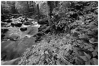 Spring Wildflowers next river flowing in forest, Greenbrier, Tennessee. Great Smoky Mountains National Park ( black and white)
