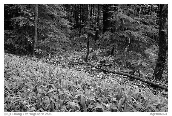 Crested Dwarf Irises and forest, Greenbrier, Tennessee. Great Smoky Mountains National Park (black and white)