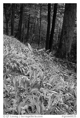 Crested Dwarf Irises blooming in the spring, Greenbrier, Tennessee. Great Smoky Mountains National Park (black and white)