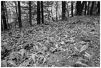 Forest floor with Crested Dwarf Iris, Greenbrier, Tennessee. Great Smoky Mountains National Park ( black and white)