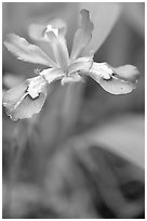Crested Dwarf Iris close-up, Tennessee. Great Smoky Mountains National Park ( black and white)