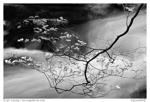 Dogwood branch with white blossoms and flowing stream, Treemont, Tennessee. Great Smoky Mountains National Park (black and white)
