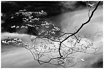 Dogwood branch with white blossoms and flowing stream, Treemont, Tennessee. Great Smoky Mountains National Park ( black and white)
