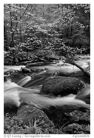 Blooming dogwood and stream flowing over boulders, Middle Prong of the Little River, Tennessee. Great Smoky Mountains National Park (black and white)