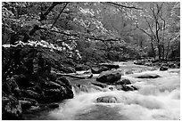 Dogwoods overhanging river with cascades, Treemont, Tennessee. Great Smoky Mountains National Park, USA. (black and white)