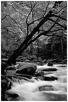 Dogwoods trees in bloom overhanging river cascades, Middle Prong of the Little River, Tennessee. Great Smoky Mountains National Park, USA. (black and white)
