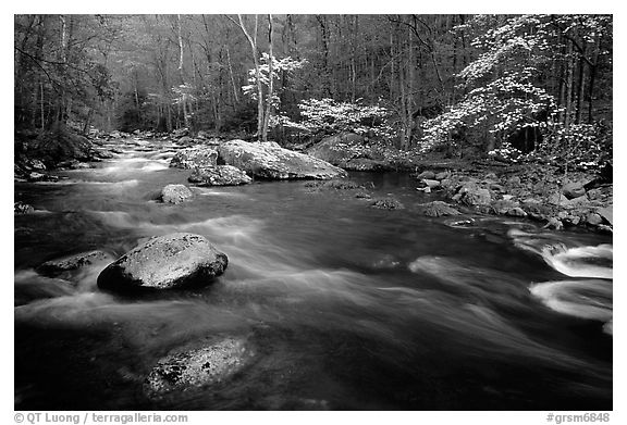 Stream and dogwoods in bloom, Middle Prong of the Little River, late afternoon, Tennessee. Great Smoky Mountains National Park (black and white)