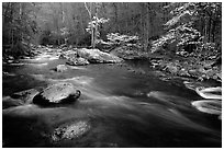 Stream and dogwoods in bloom, Middle Prong of the Little River, late afternoon, Tennessee. Great Smoky Mountains National Park, USA. (black and white)