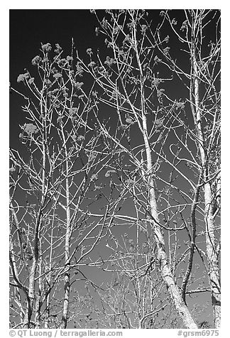 Mountain Ash berries againstblue sky, North Carolina. Great Smoky Mountains National Park (black and white)