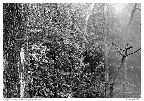 Steam rising in forest. Hot Springs National Park (black and white)