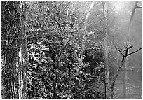 Steam rising in forest. Hot Springs National Park, Arkansas, USA. (black and white)