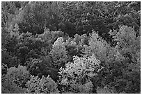Trees in fall color on hillside. Hot Springs National Park, Arkansas, USA. (black and white)