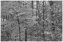 Trees in fall colors, West Mountain. Hot Springs National Park ( black and white)