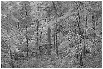 Forest in fall colors, West Mountain. Hot Springs National Park ( black and white)