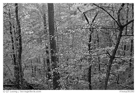 Deciduous trees in fall colors, West Mountain. Hot Springs National Park (black and white)