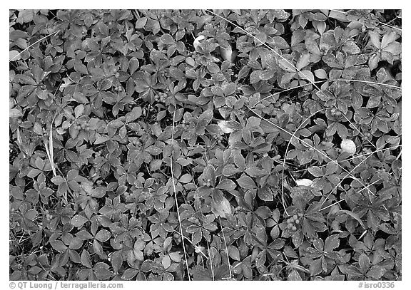 Forest floor detail with berry leaves. Isle Royale National Park (black and white)