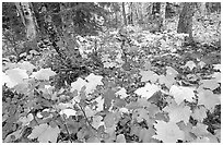 Forest in fall, Windego. Isle Royale National Park, Michigan, USA. (black and white)