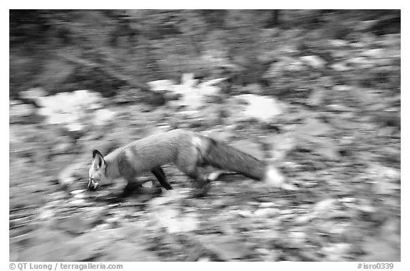 Red fox. Isle Royale National Park (black and white)