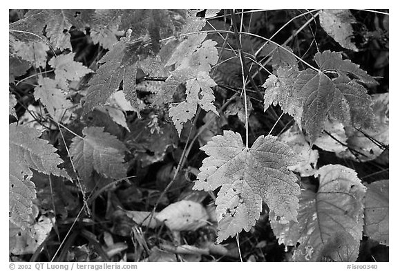 Maple leaves on forest floor. Isle Royale National Park (black and white)