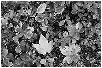 Forest floor detail in autumn. Isle Royale National Park, Michigan, USA. (black and white)
