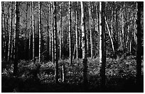 Birch trees near Mt Franklin trail. Isle Royale National Park, Michigan, USA. (black and white)