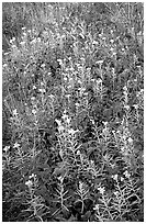 Meadow close-up. Isle Royale National Park ( black and white)